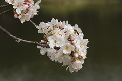 Cherry blossoms in Koishikawa Korakuen (Botanical Garden)