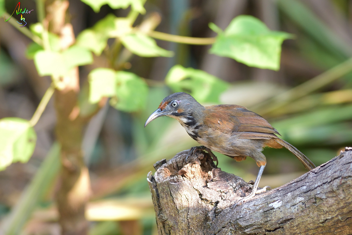 Rusty-cheeked_Scimitar_Babbler_4524