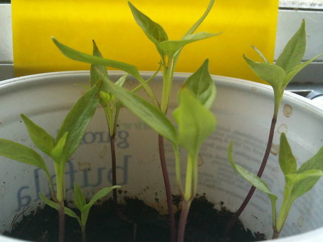 Peter pepper seedlings