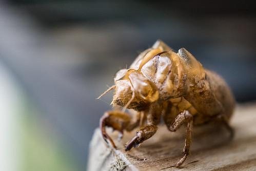 Cicada Shell Sony a7ii 30mm Macro