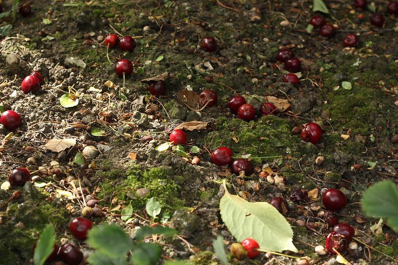 Fallen cherries