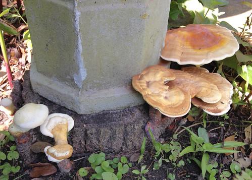 Mushroom - Reishi