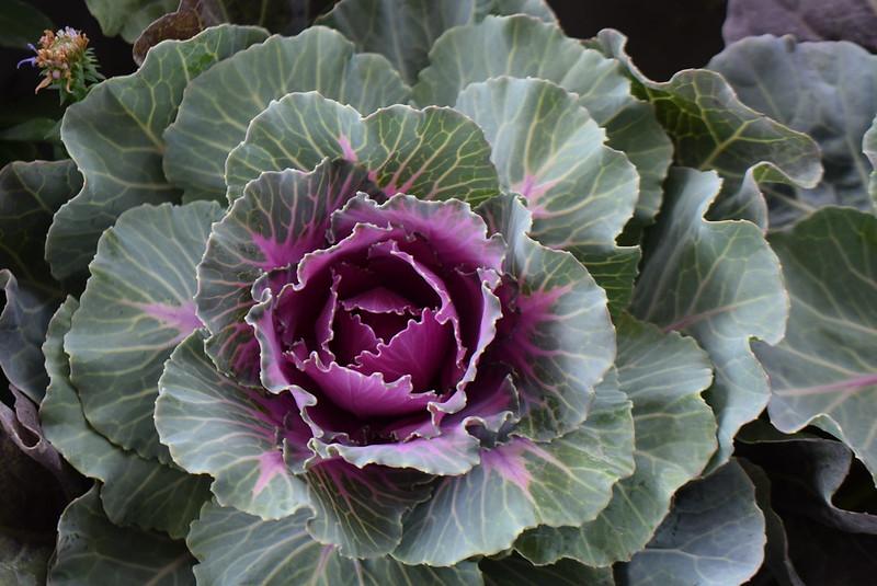 Wild cabbage 16.09 (2)