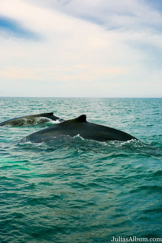 whales playing, swimming together in the ocean, Brier Island, Nova Scotia