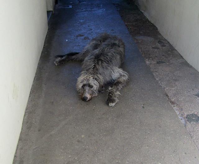 hound 1
