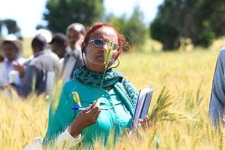 Invited women from Kaliti wheat flour factory collecting sample of wheat varieties (photo credit: ILRI/A. Habtamu)