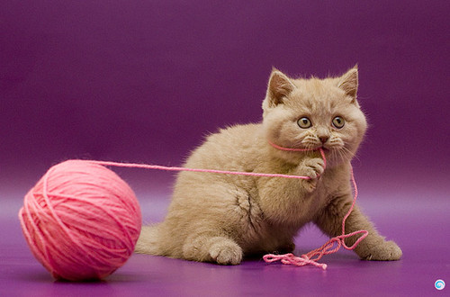 Favim.com-animal-cat-cute-photography-string-432434