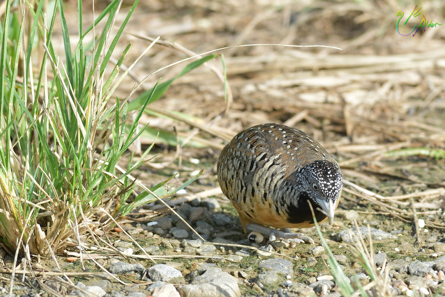 Barred_Buttonquail_1147
