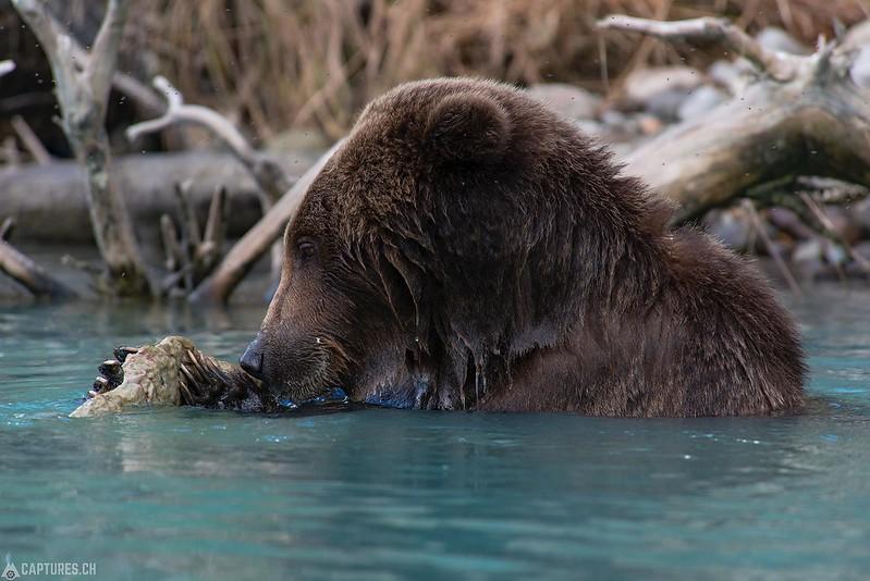Salmon eating - Lake Clark National Park