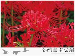 紅花石蒜-01
