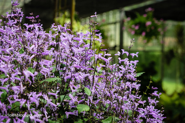 Mona Lavender3-0276rw