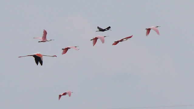 Greater Flamingo in flight - 4
