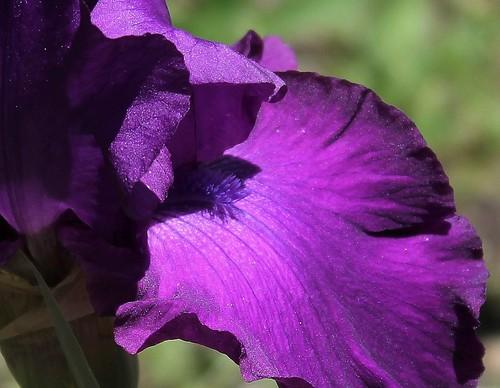 Iris Loyalist (2)