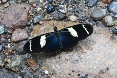 Heliconius wallacei flavescens (Nymphalidae: Heliconiinae: Heliconiini)
