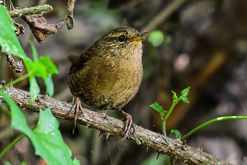Half-Moon Bay: Pacific Wren