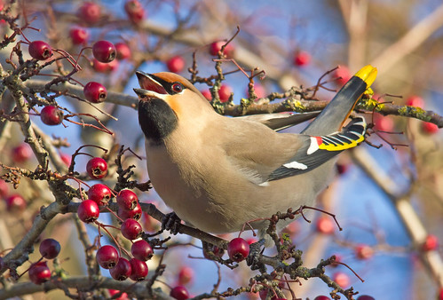 Waxwing --- '' Explored ''     BBC Autumnwatch Favourite | by 4gyp