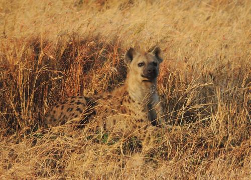 Tanzania Safari: Hyenas, Jackals, Serval Cat