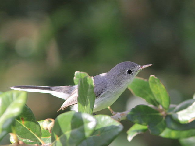 Blue-gray Gnatcatcher 20160906