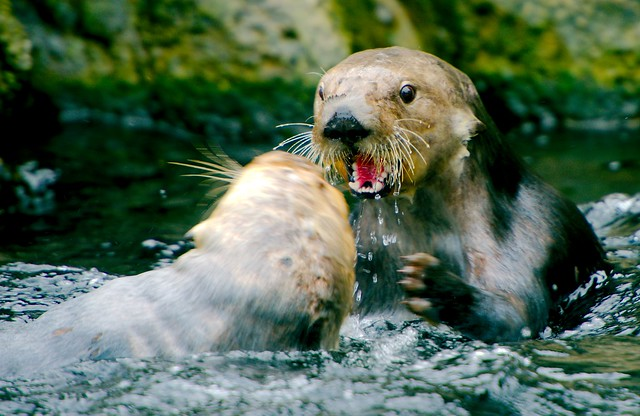 Sea Otter_22