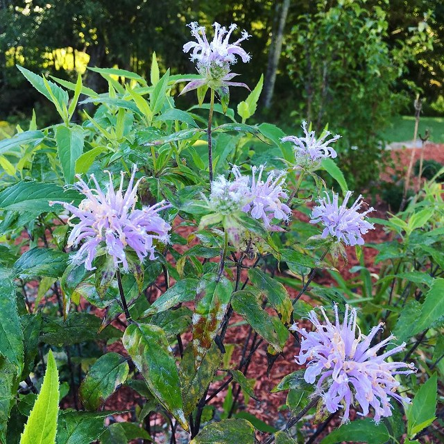 Purple bee balm. #monarda #vermont