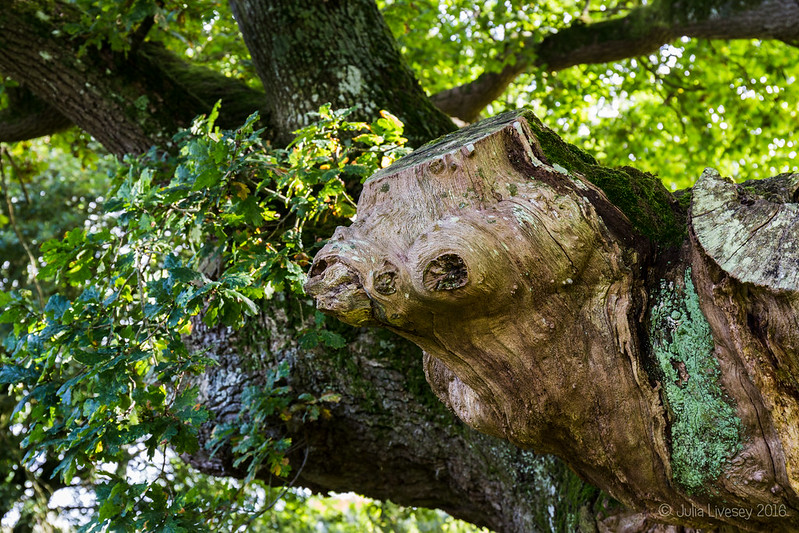 The 'Oak of Many Faces'