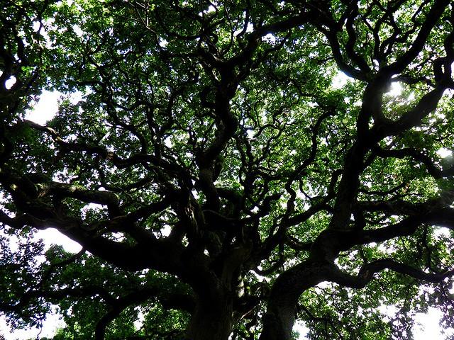 Fine Old Oak 2