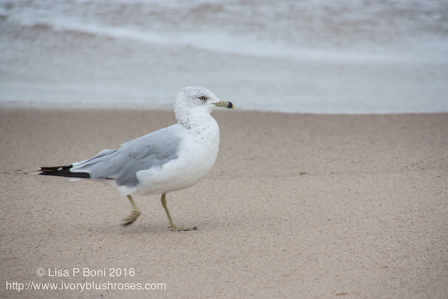 Ringbilled Gull