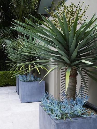 dracaena draco in pots with senecio sp 1 dangargroup. Black Bedroom Furniture Sets. Home Design Ideas