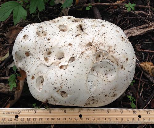 Mushroom - Giant Puffball