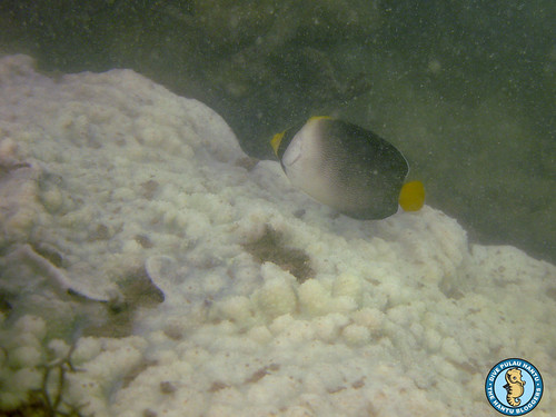Vermiculated Angelfish and Echinophyllia (bleached)