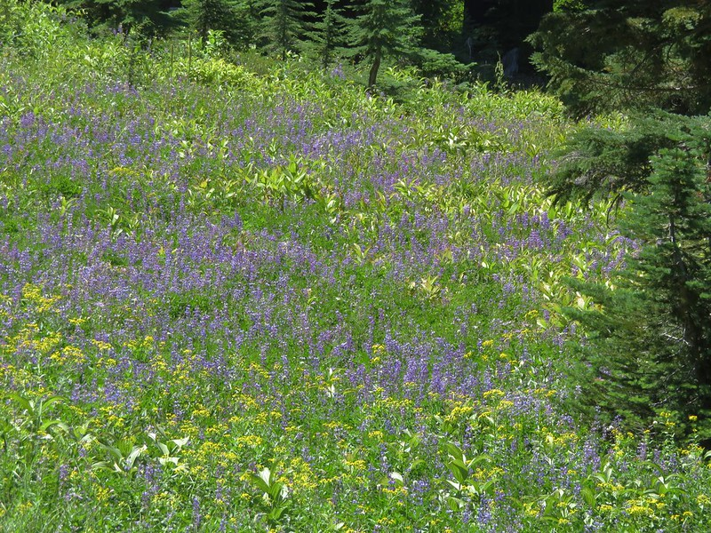 Lupine and groundsel