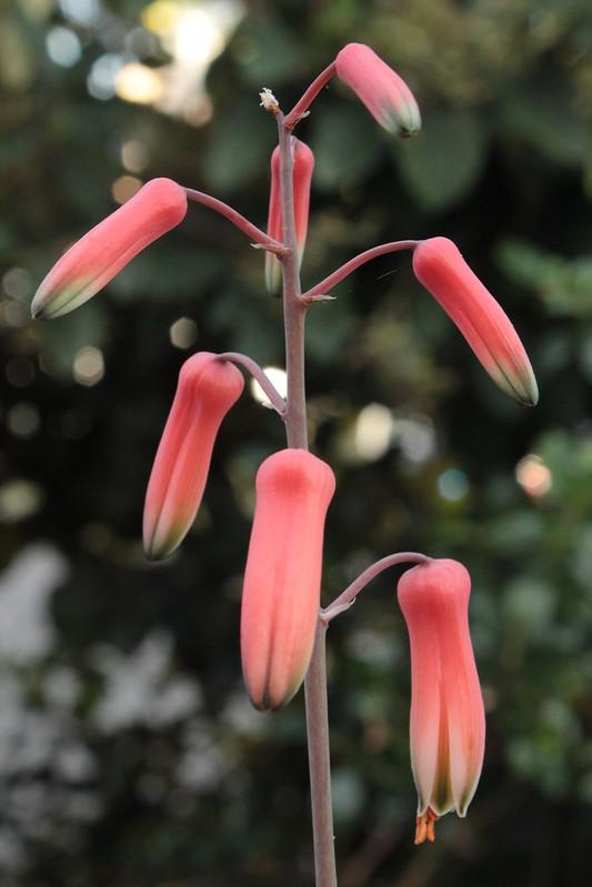 Aloe 'Pink Blush' 28895536485_82b62200f3_c