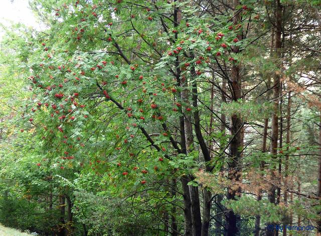 Gresolet a Bagà -23- Baga y Bosc de Gresolet -02- (05-10-2016)
