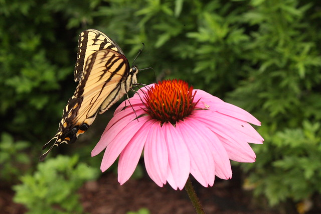Butterfly on coneflower