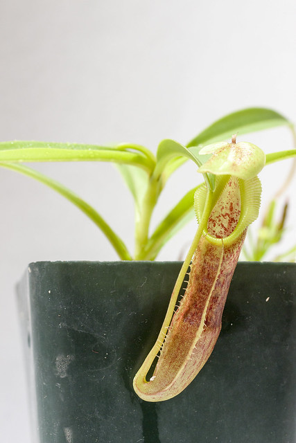 Nepenthes singalana Belirang BE