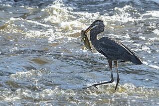 Grand Héron (un bon pêcheur) 29167284461_1b8d1f6c77_n