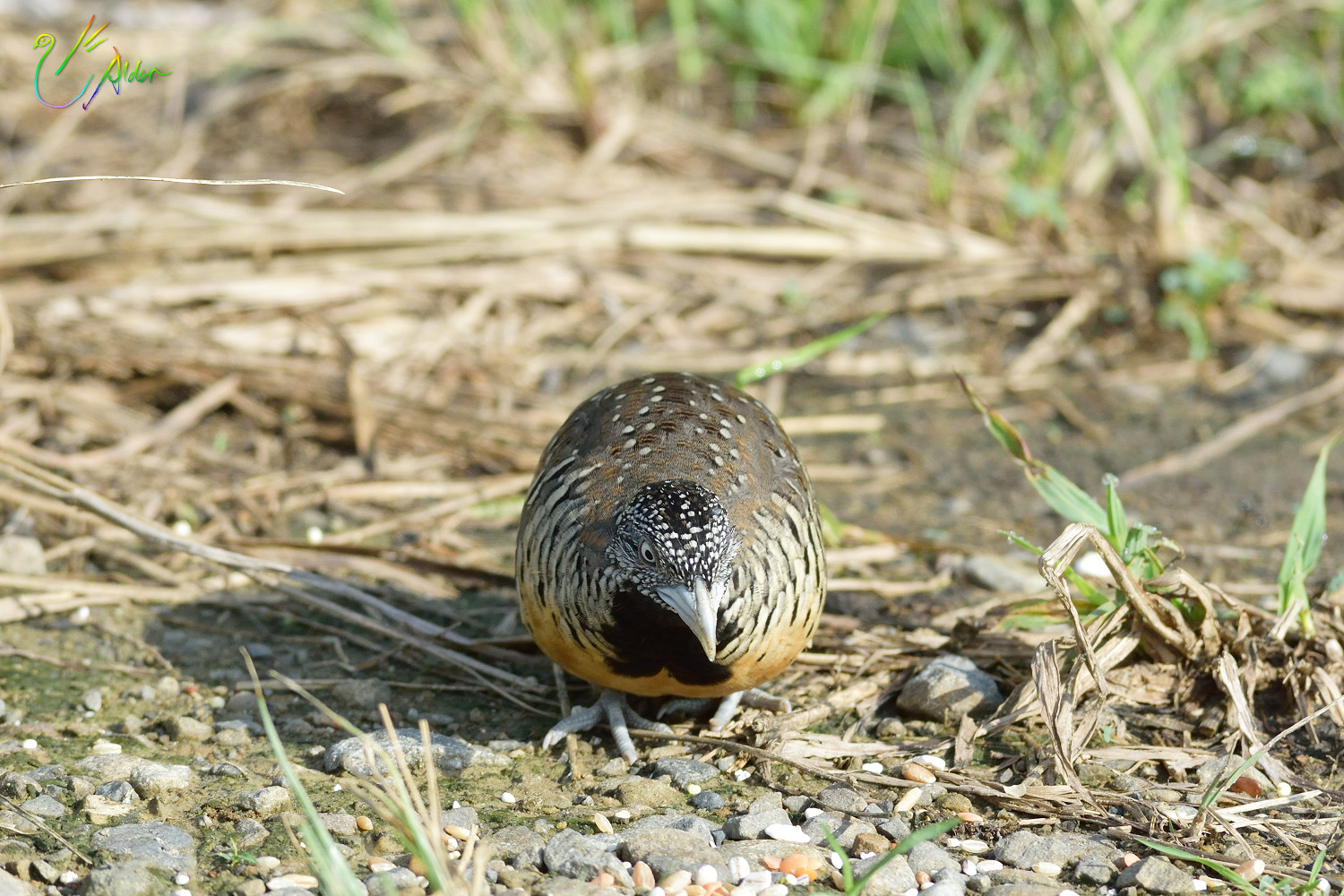 Barred_Buttonquail_1116
