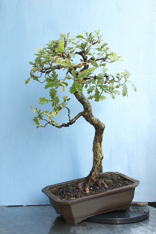 Wee Trees Bonsai Help Forum Advice for all - View topic - Oak