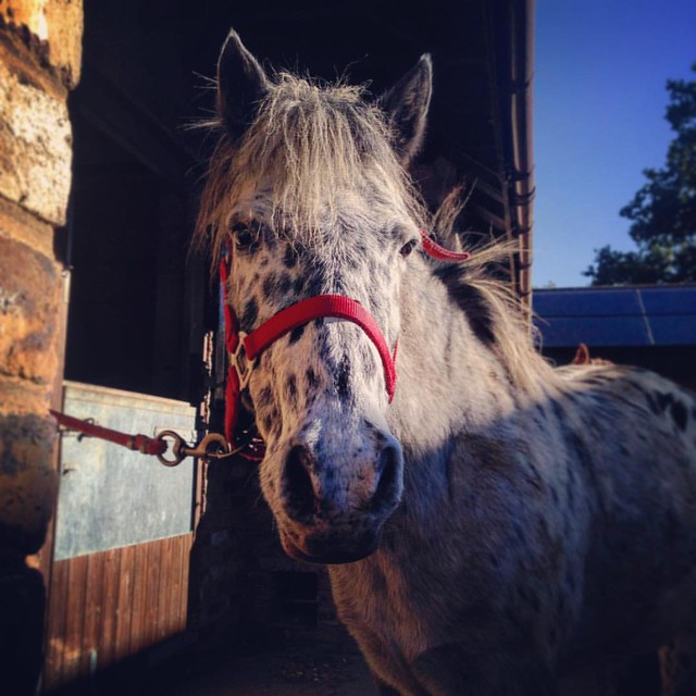 Sweep! . #spottedpony #appaloosa #leopardcomplex #Appaloosa #britishspottedpony #pony