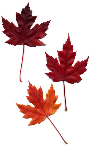 scan of red maple leafs from Heather Park
