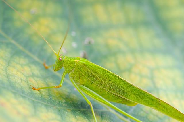 ツユムシ [Phaneroptera falcata]...