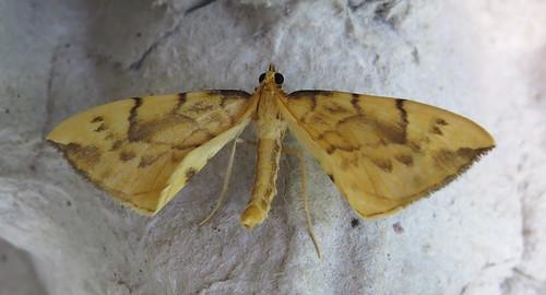 Barred Straw Gandaritis pyraliata Tophill Low NR, East Yorkshire July 2016