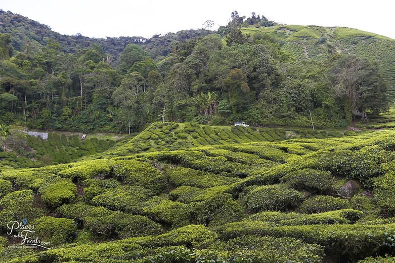 cameron highlands palas tea farm