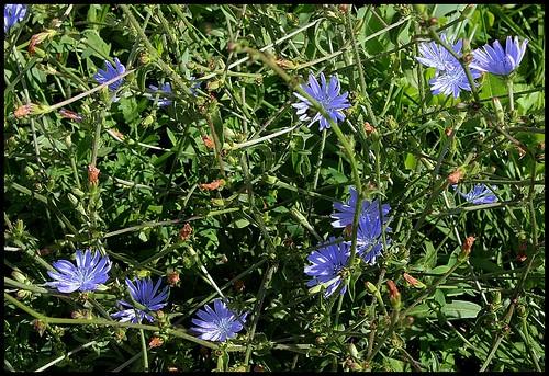 Cichorium intibus (6)