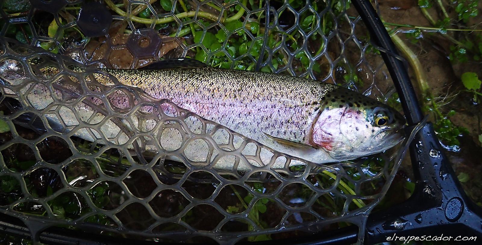Flyfishing Tajuña River - Trucha aroiris