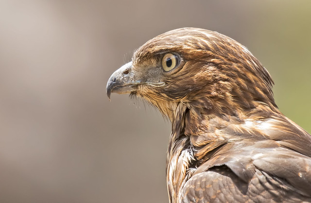 Red-tailed-Hawk-119-7D2-210716