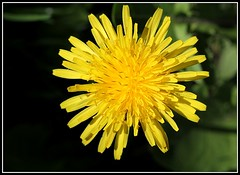 Taraxacum officinalis - groupe (8)