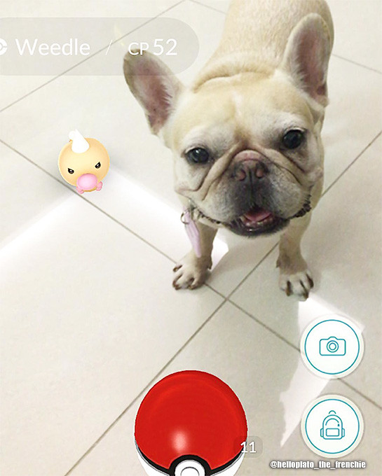 pokemon-go-sg-french-bulldog