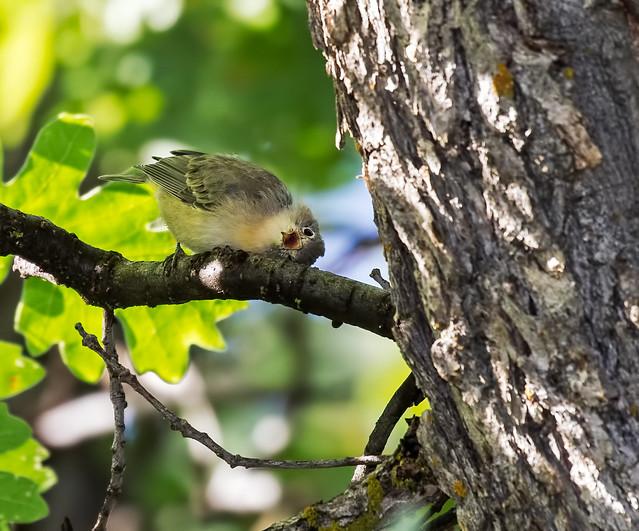 Yellow-rumped-Warbler-8-7D2-100816