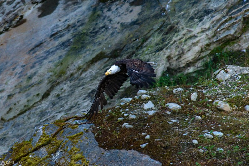 Bald eagle - Valdez